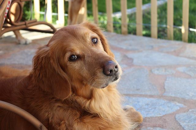 best dogs for kids Golden Retriever photo