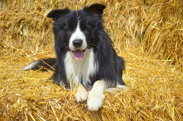 best dogs for kids collie photo