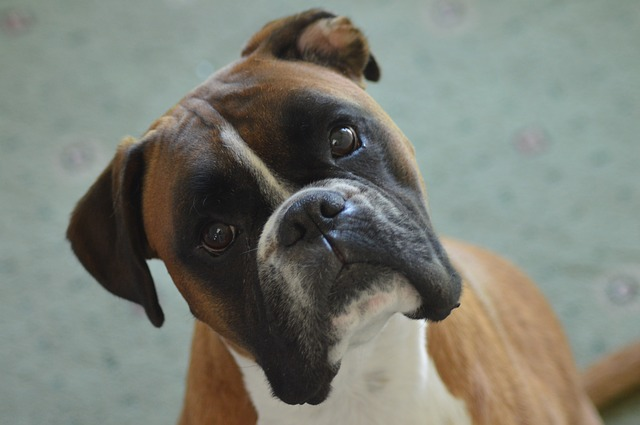 best dogs for kids boxer photo