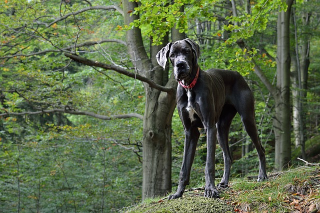 best dogs for kids Great Dane photo