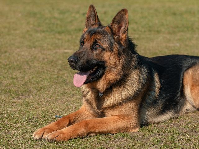best dogs for kids German Shepherd photo