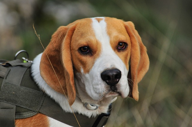 best dogs for kids beagle photo