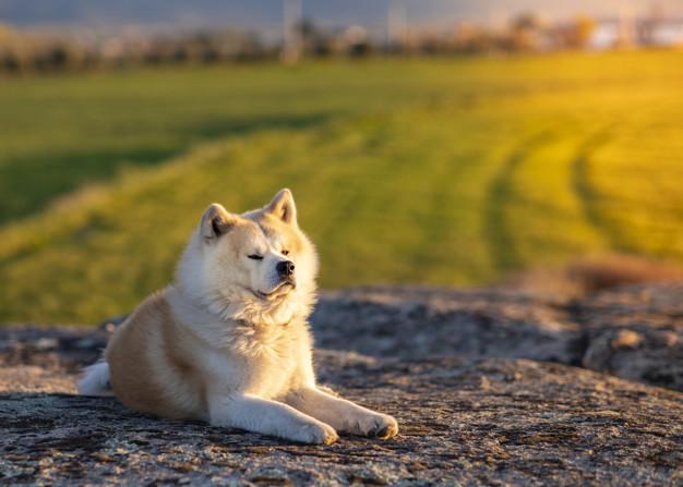 Guard Dog in field