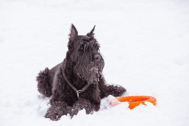 choose the brst Breeds For Guard Dog