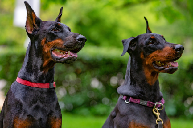 10 Best Breeds For Guard Dogs – Guide