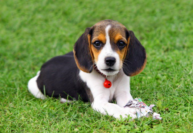 Beagle Health Issues and Tips on Caring for Your Puppy